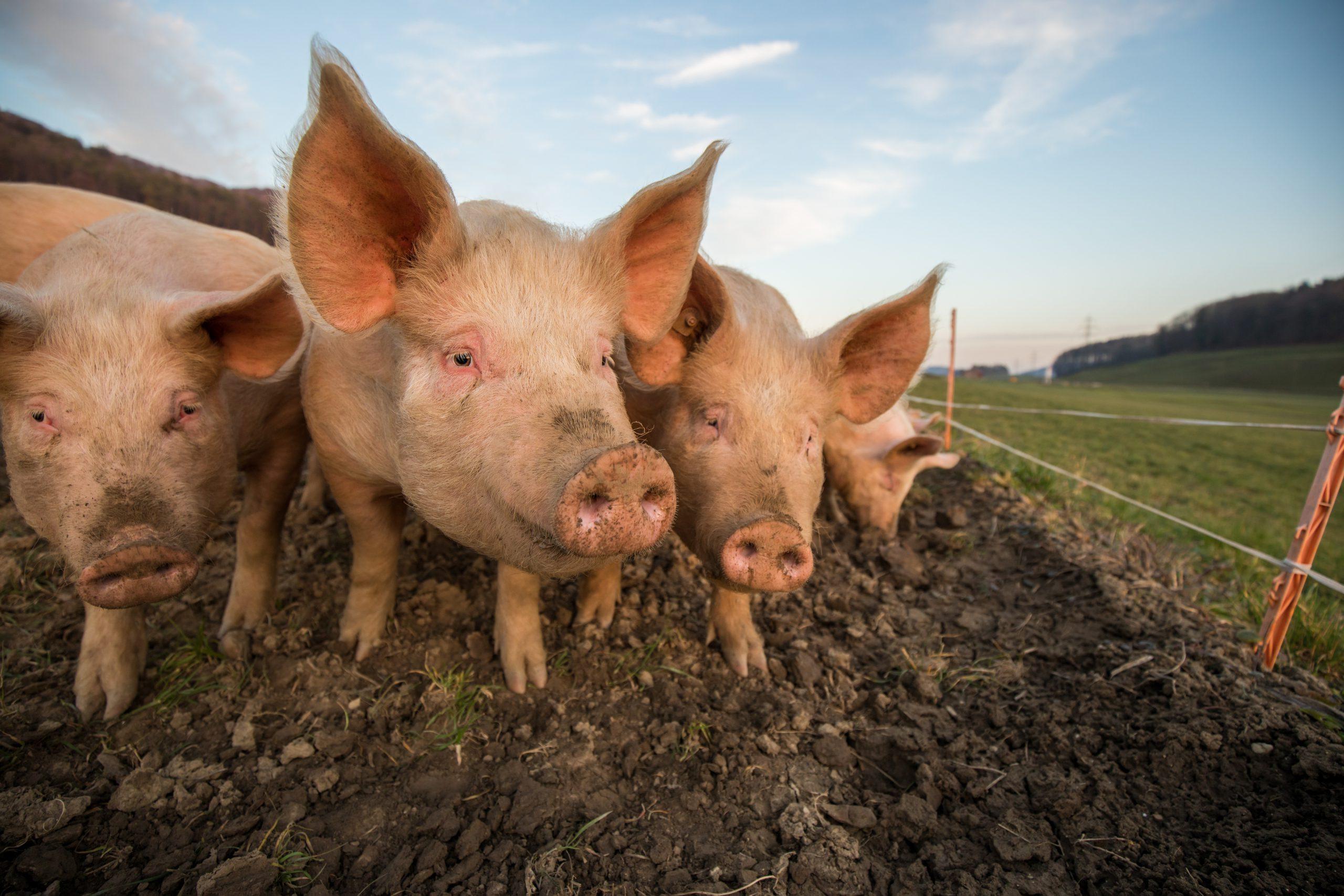 pig courses