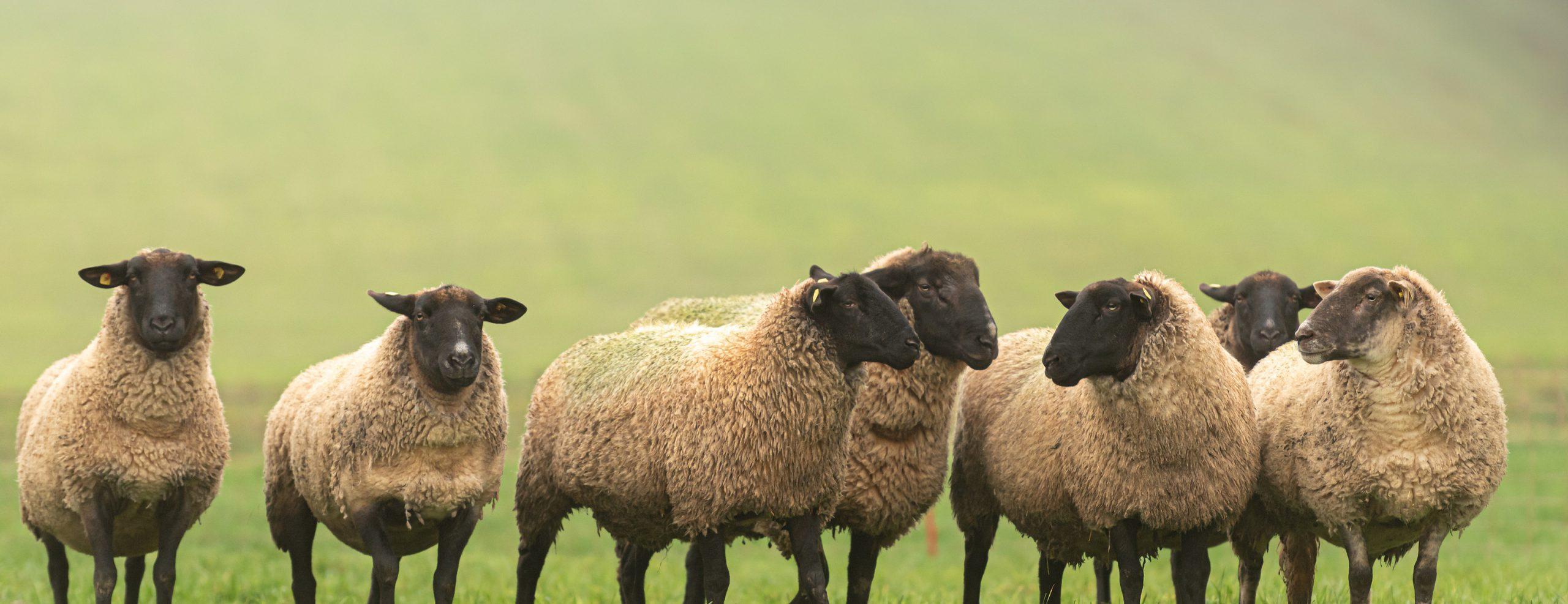 sheep courses